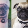 Biskit the Pug Portrait Tattoo - Tattooed by Andy Russell, AUS