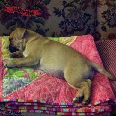 Lola the Frenchie Pug Frug 02