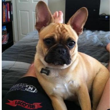 Lola the Frenchie Pug Frug 04