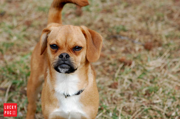 Brown Puggle