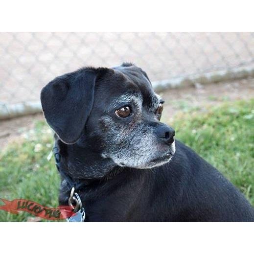 Puggle Dog Black