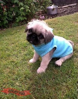 Shih Tzu Pug Cross