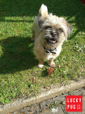 Pug Zu Hybrid Breed Information Pictures Pug Cross Shih Tzu