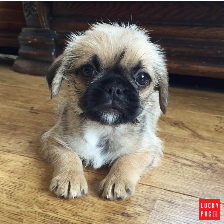 Pizie the nine weeks old Pugzu puppy