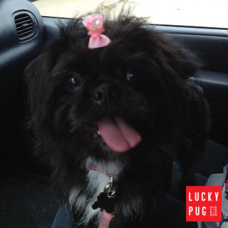 Portia the one year old Pugzu puppy 02