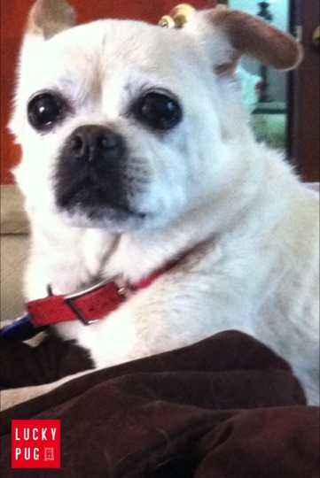 Lucy the Chug  - Pug Cross Chihuahua 16 Years Old