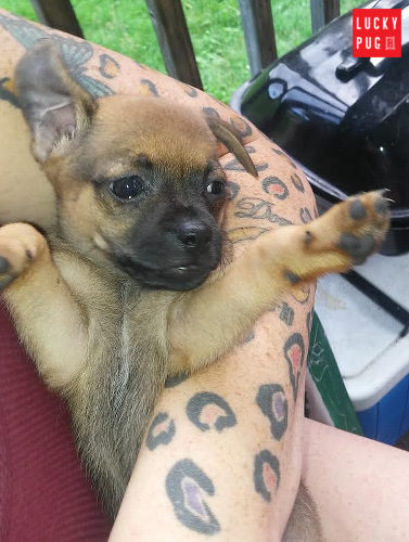 Jug Dog Hybrid Breed Information Pictures Pug Cross Jack Russell