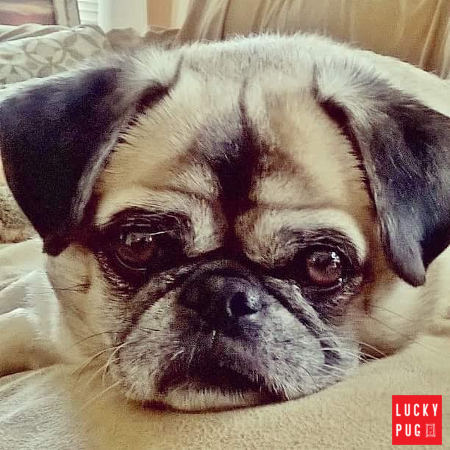 pip six year old rescue pug cross pekingese