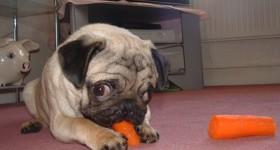 cute-pug-01