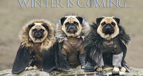 pugs-of-instagram-blog-article-cover-photo