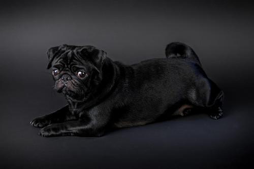 Black Pug Lying Down