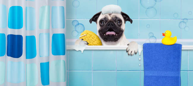 Fawn Pug Bathing with Duck