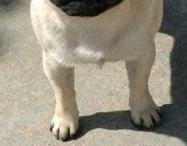 Pug Foot Main
