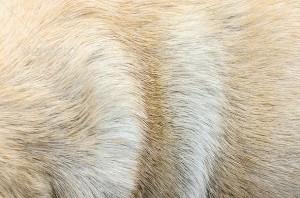 Pug Shedding Tips Information Do Pugs Shed