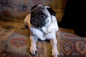 Pug Size Main