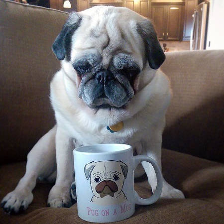 Pug looking at a coffee cup
