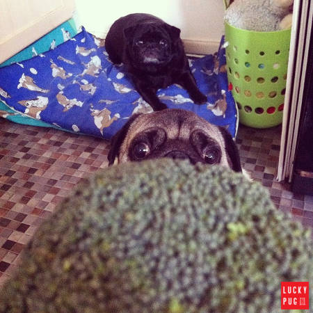 Pug looking at broccoli
