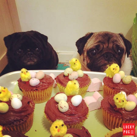 Pugs looking at Easter cupcakes