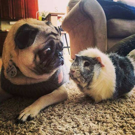 Pug looking at a guinea pig