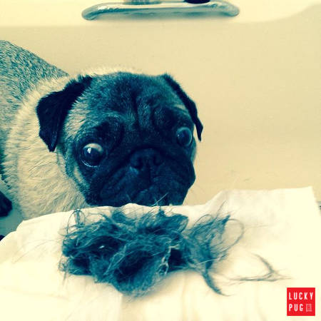 Pug looking at his own hair that came off after being washed