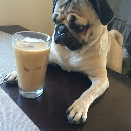 Pug looking at iced coffee