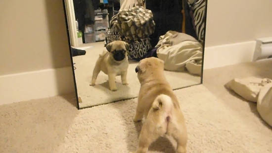 Pug puppy looking at himself in the mirror