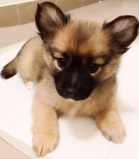 Pug Cross Pomeranian - Pom a Pug
