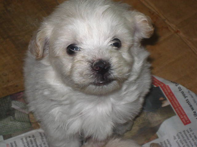 White Pugland - Pug Westie mix