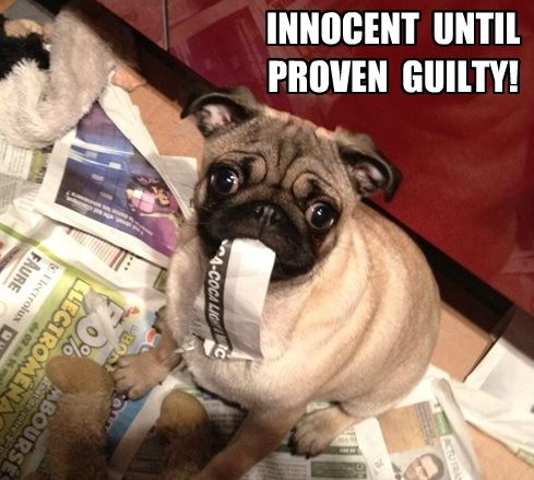 pug-meme-innocent-until-proven-guilty