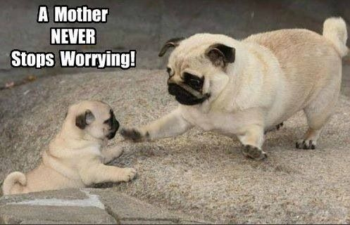 pug-meme-mother-never-stops-worrying