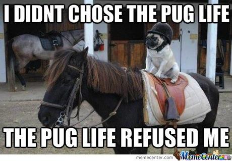 pug-meme-pug-life-chose-me