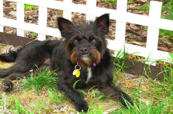 Bossi Poo boston terrier cross poodle