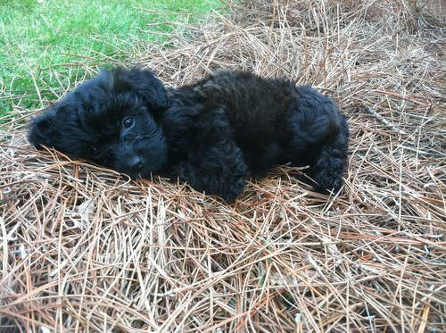 black Yorkipoo poodle cross yorkshire terrier