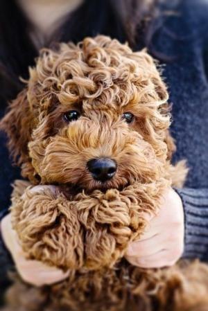 fluffy brown Labradoodle - poodle cross labrador