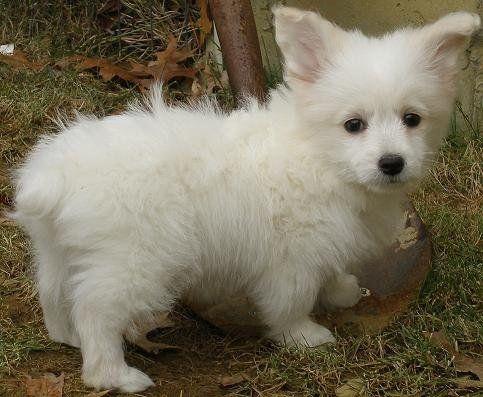 white corgipoo poodle cross corgi