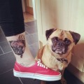 Frank the Pug - Tattooed by  Polly Thompson at Five Magic tattoo in Sheffield, UK
