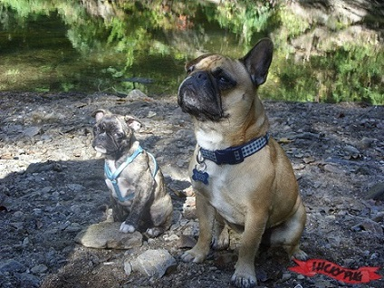 Two Frenchie Pugs