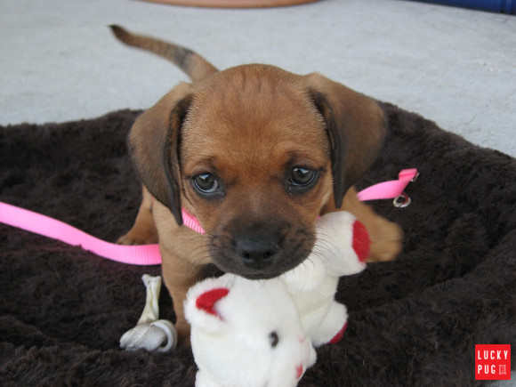 Daug puppy with a toy