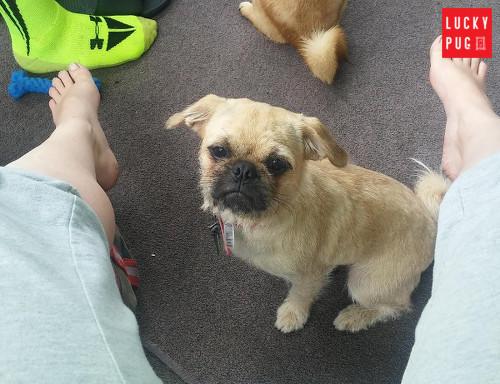 16 months old pug-zu Bella