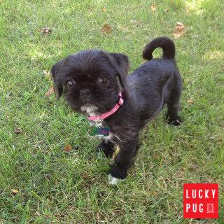 Portia the one year old Pugzu puppy 01