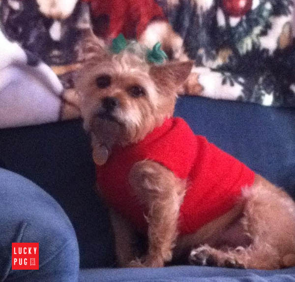 Lucy the seven years old pug cross yorkshire terrier - pugshire