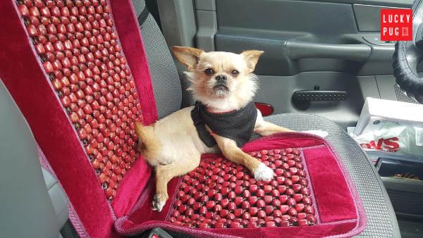 Buddy Pug Cross Yorkshire Terrier - Pugshire