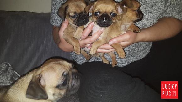 Brug Puppies held