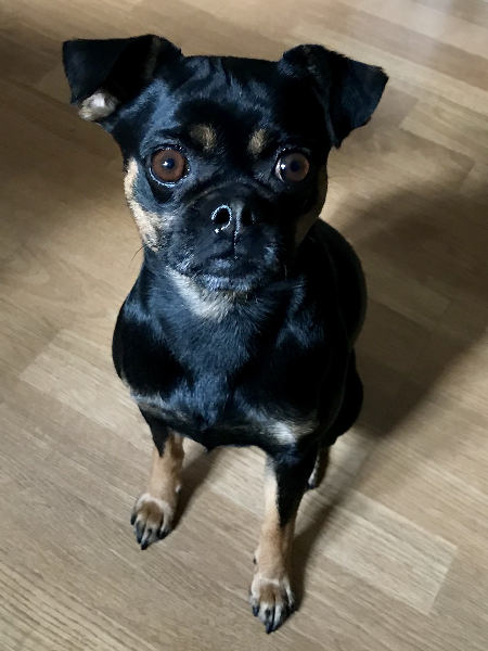 Callie-Pug-cross-Miniature-Pinscher