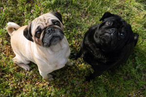 black-and-fawn-pugs-main