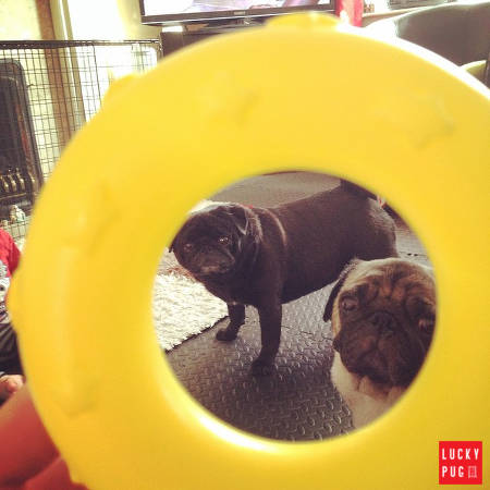 Pugs looking at a hole