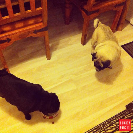 Pug looking at another pug eating