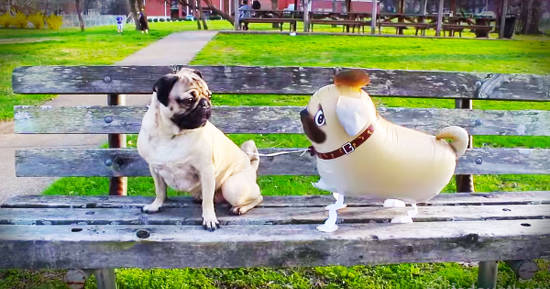 Pug looking at a balloon pug