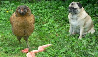 Pug looking at a chicken