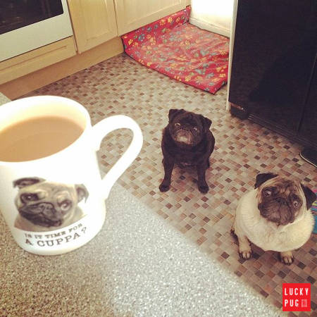 Pugs looking at coffee in a pug mug